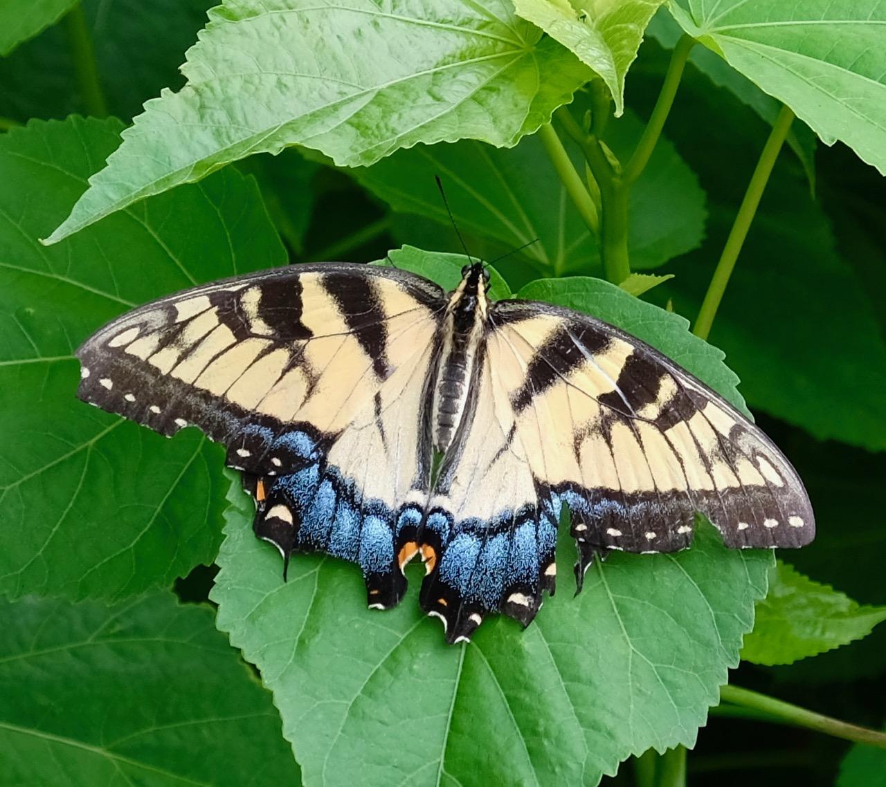 ButterflyYellowBlue